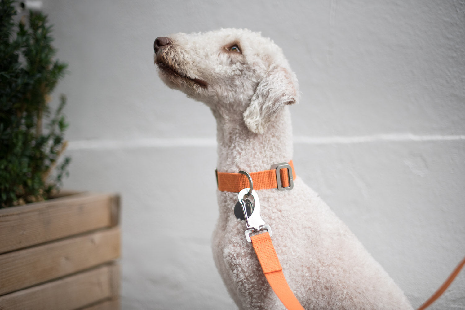 orange lead for bedlington terrier