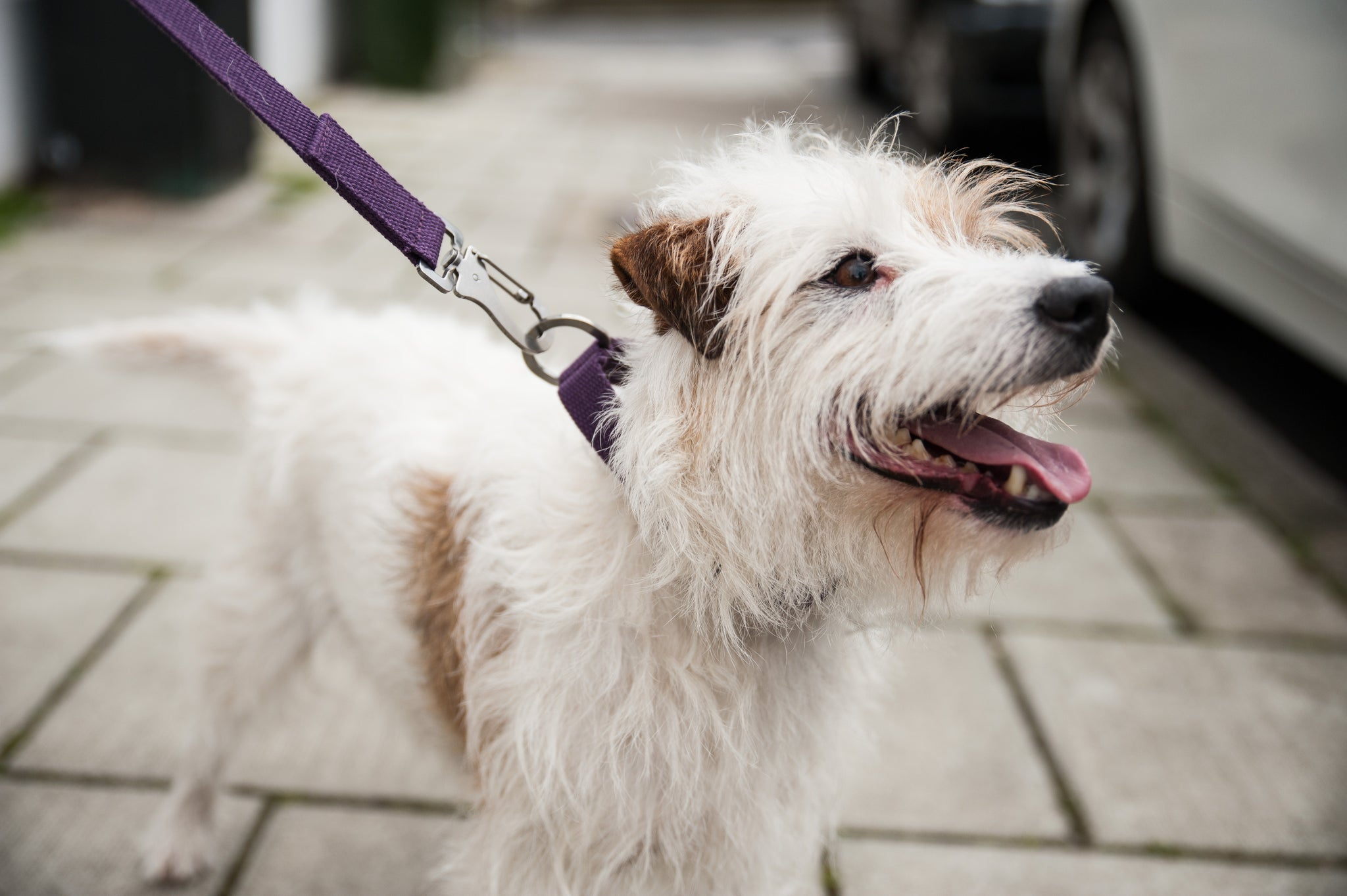 purple dog lead for parsons terrier