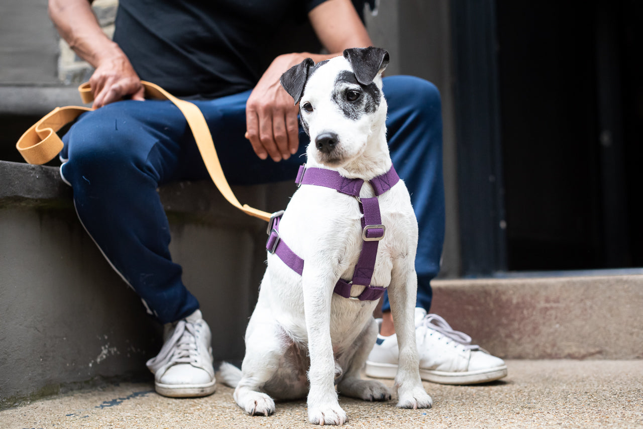 purple harness for a terrier