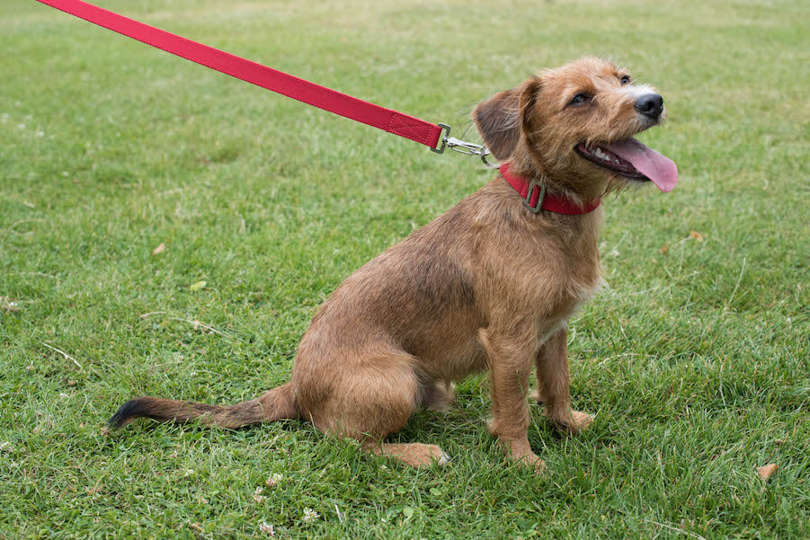 terrier looking good in red collar and lead