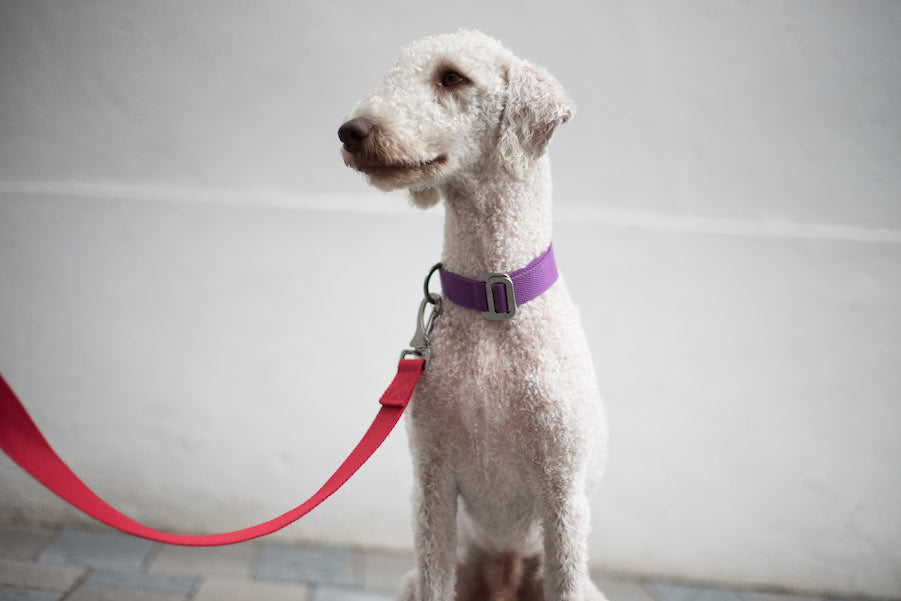 red lead for bedlington terrier