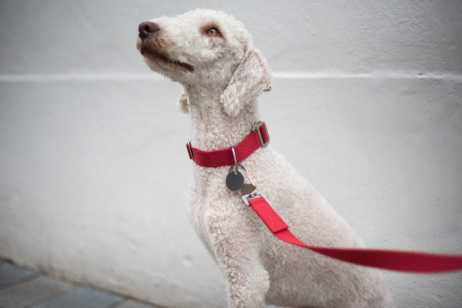 small red collar for a bedlington