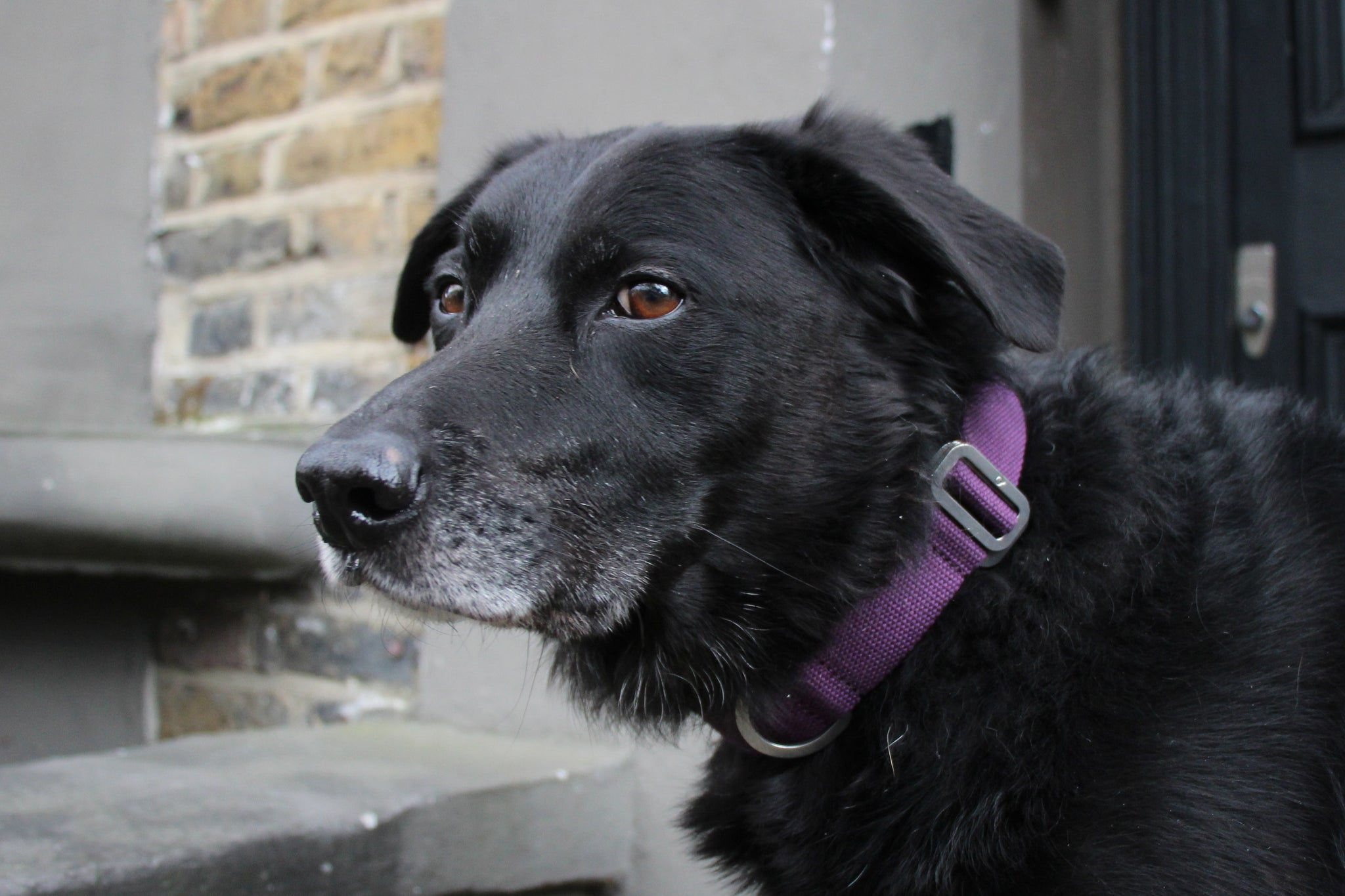 Plum dog collars
