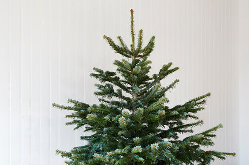 Premium Nordmann Non Drop cut Christmas Tree