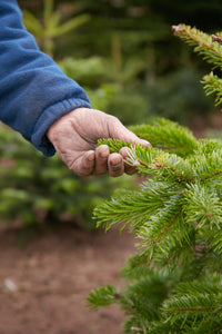 NEXT DELIVERY MONDAY 8 - BOOK NOW TO RESERVE Premium cut Nordmann Fir non-drop Christmas trees. For collection or delivery.