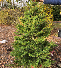 Picture of potted Norway Spruce, available for preorder from Host of Leyton