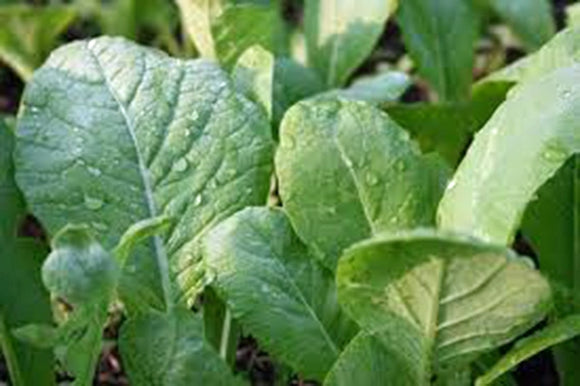 MUSTARD GREENS, TENDERGREEN, HEIRLOOM, ORGANIC NON-GMO SEEDS, GREAT FOR SALADS - Country Creek LLC