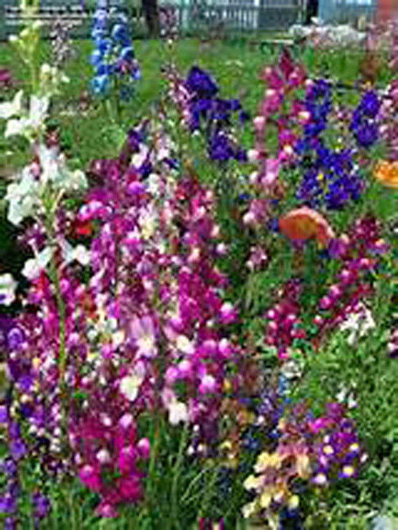 Snapdragons Fairy Bouguet, Linaria Maroccana Seeds,  Beautiful Mix of Bright Colorful Blooms - Country Creek LLC