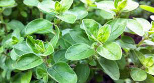 Marjoram Sweet, Heirloom, Organic, NON GOM, (25+) Herb, Majoram Sweet Seeds