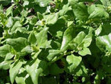 SPINACH, NEW ZEALAND, HEIRLOOM, ORGANIC NON GMO SEEDS, GREAT FOR SALADS & COOKING - Country Creek LLC