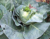 CABBAGE, CHARLESTON WAKEFIELD, HEIRLOOM, ORGANIC , NON GMO SEEDS, TASTY HEALTHY VEGGIE - Country Creek LLC