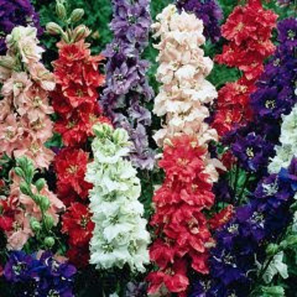 Delphinium Seed, 50+ Seeds, Giant Imperial Mix, Organic, Striking Mixed Colors