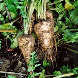 PARSNIP, HARRIS MODEL, HEIRLOOM, ORGANIC SEEDS, A HEALTHY TASTY ROOT VEGGIE - Country Creek LLC