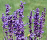 SALVIA FLOWER SEEDS BLUE SAGE 25 SEEDS - Country Creek LLC