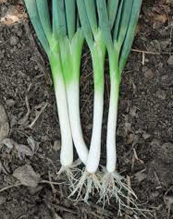 ONION SEED , TOKOYO LONG WHITE, HEIRLOOM, ORGANIC NON-GMOSEEDS, GREAT IN SALADS& COOKING - Country Creek LLC