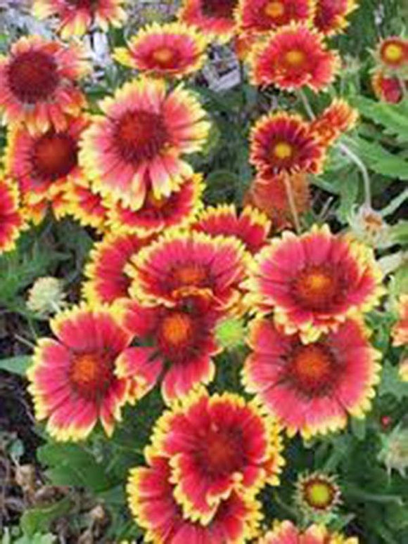 BLANKET FLOWER, ARIZONA SUN SEEDS ORGANIC, BEAUTIFUL BRIGHT LARGE BLOOMS - Country Creek LLC
