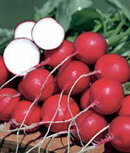 RADISH, CHAMPION, HEIRLOOM, ORGANICLY GROWN 50+ SEEDS, PERFECT SALAD RADISH