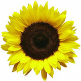 SUNFLOWER, LEMON QUEEN, SEEDS ORGANIC LARGE BEAUTIFUL VIVID COLORFUL BLOOMS - Country Creek LLC