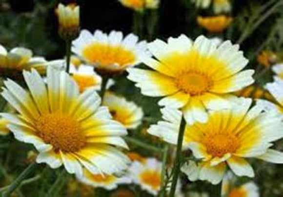 GARLAND DAISY 100+ SEEDS ORGANIC NEWLY HARVESTED, BEAUTIFUL BLOOMING FLOWER - Country Creek LLC