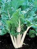 SWISS CHARD SEEDS , LARGE WHITE RIBBED, HEIRLOOM, ORGANIC SEEDS, TASTY CRISP LEAVES - Country Creek LLC