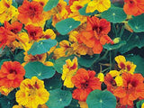 NASTURTIUM SEEDS, DWARF JEWEL, SEEDS ORGANIC NEWLY HARVESTED - Country Creek LLC