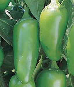 PEPPER, EARLY JALAPENO CHILLE , HEIRLOOM, ORGANIC NON-GMO SEEDS, SPICY GREAT FRESH - Country Creek LLC