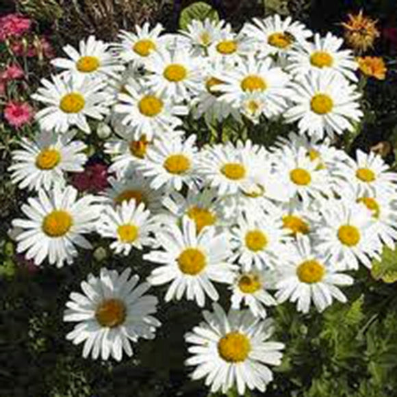 SHASTA DAISY SEEDS ORGANIC, BEAUTIFUL BRIGHT WHITE/YELLOW FLOWER - Country Creek LLC