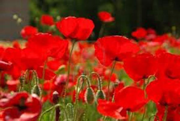 POPPY SEEDS RED POPPY SEEDS ORGANIC, FLOWER SEEDS WORLDS MOST POPULAR FLOWER, BEAUTIFUL RED BLOOMS - Country Creek LLC
