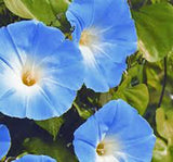 MORNING GLORY, HEAVENLY BLUE, SEEDS ORGANIC, BEAUTIFUL BLUE SEASON LONG BLOOMS - Country Creek LLC