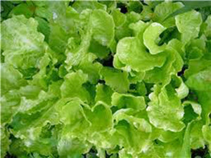 LETTUCE, LEAF, SIMPSON BLACK SEED, HEIRLOOM, ORGANIC 25+ SEEDS, DELICIOUS CRISP GREENS
