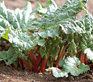Rhubarb (Victoria) Seeds, , Organic, NON GMO seeds., A true perennial, rhubarb adds sculptural beauty to the garden. Do not eat the Leaves. Only consume the stalks. - Country Creek LLC