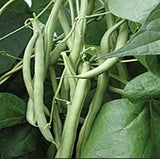 Bean, Burpee Stringless Green Bean Seeds, Heirloom, Delicious Bean, Country Creek Acres - Country Creek LLC