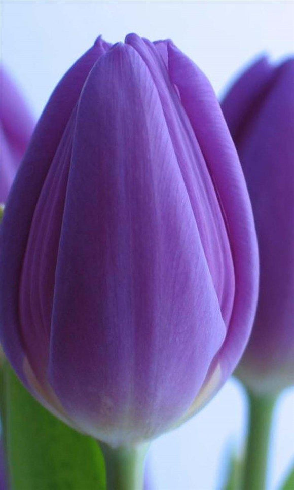 Tulip, Purple Prince Tulip Flower Bulbs, This tulip is a versatile addition to any color combination in the garden. - Country Creek LLC