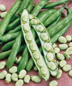 BEAN, FORDHOOK LIMA BUSH,HEIRLOOM, ORGANIC, NON GMO SEEDS, GREAT NUTTY  & BUTTERY TASTE - Country Creek LLC
