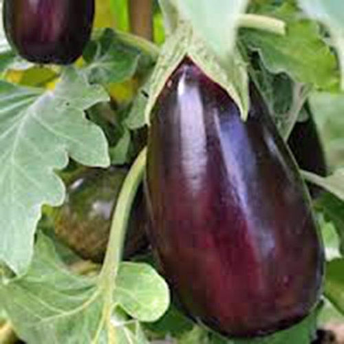 EGGPLANT, BLACK BEAUTY , HEIRLOOM, ORGANIC 25+SEEDS, DELICIOUS LARGE TASTY FRUIT