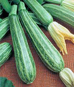 SQUASH SEEDS, COCOZELLE SUMMER SQUASH , HEIRLOOM, ORGANIC,SEEDS, NON GMO - Country Creek LLC