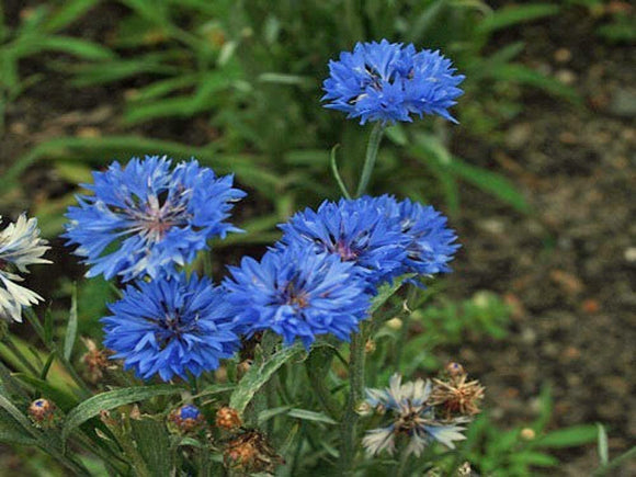 Bachelor Button Seeds, Tall Blue Seeds, Organic,  seeds, Beautiful Bright Blue colored Blooms. - Country Creek LLC