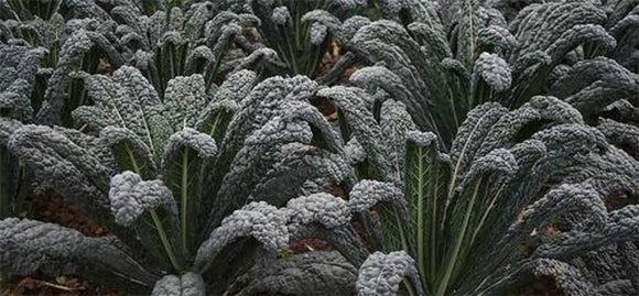 Black of Tuscany Kale Seeds, Non-GMO Garden Seeds by Country Creek Acres - Country Creek LLC