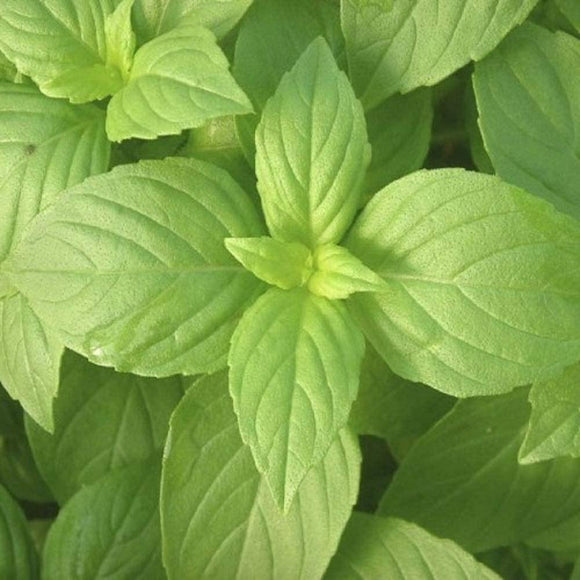 Lemon Basil Seed - Non-GMO - Country Creek LLC