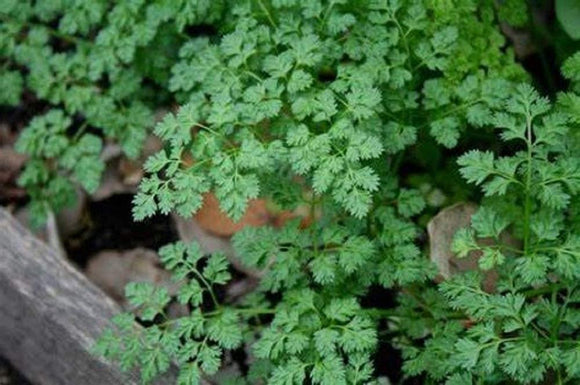 Winter Chervil Seeds - Non-GMO - A Delicate leaved herb That enhances The Flavors of Other Herbs. - Country Creek LLC