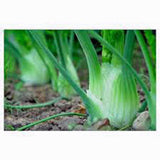 Fennel Seed, Florence Fennel, Heirloom, Organic, NON-GMO SEEDS - Country Creek LLC