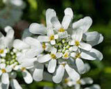Candytuft, Tall Mix Seeds, 100 seeds,beautiful Pink, Lavender, White Flowers - Country Creek LLC