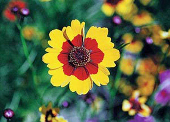 Coreopsis Plains Tall, Organic, Flower Seeds, Bright Yellow with Red Centers. - Country Creek LLC