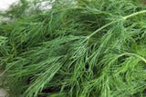 Dill Seed, Bouquet, Heirloom, Organic, NON-GMO Seeds,  Herb Fresh or Dried - Country Creek LLC