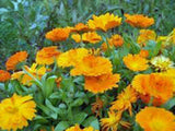 Calendula Seeds Organic Newly Harvested, Beautiful Vivid Golden Blooms - Country Creek LLC