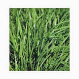 Chive Seeds, Herb, Heirloom, Organic, NON GMO Seeds, Great Fresh or Dried Herb - Country Creek LLC
