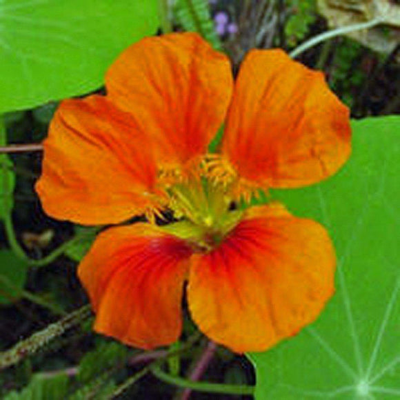Nasturtium, Vesuvias Seeds, 25+ seeds, Organic Newly Harvested-beautiful Flower - Country Creek LLC