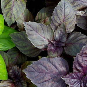 Red Rubin Basil Seeds - 25 Count Seed Pack - Non-GMO- A Beautiful Reddish-Purple herb with a Delightful Aroma. - Country Creek LLC