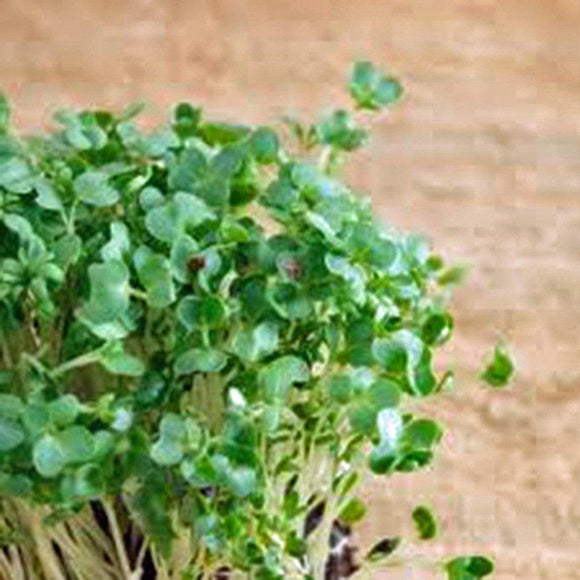 Curled Cress Seed, Sprouts, Heirloom, Organic NON-GMO, Seeds, Broadleaf, Micro Greens - Country Creek LLC