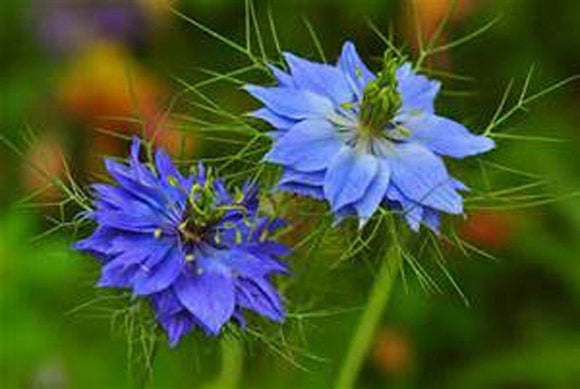 lOVE IN A MIST, 50+ SEEDS , BEAUTIFUL BLUE FLOWER - Country Creek LLC